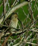 Female Finch.jpg