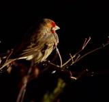 Male Finch.jpg
