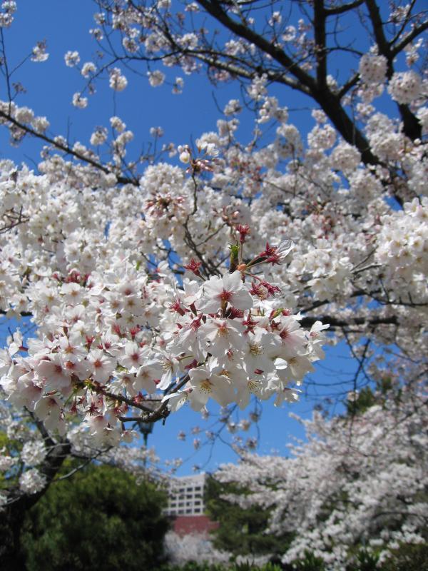 Detail of sakura