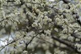 ornamental plum blossoms 4 d