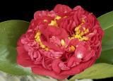 red camellia 03orig
