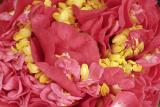 red camellia 04