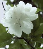 A Crab Apple Blooms for Norma Jean