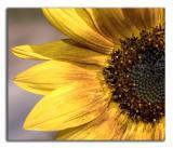 Sunflower- March 26