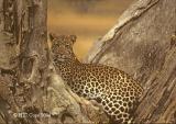 leopard-213.jpg