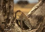 leopard-215.jpg