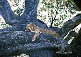 leopard-205.jpg
