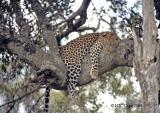 leopard-210.jpg