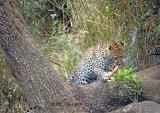 leopard-211.jpg
