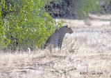 leopard-603.jpg