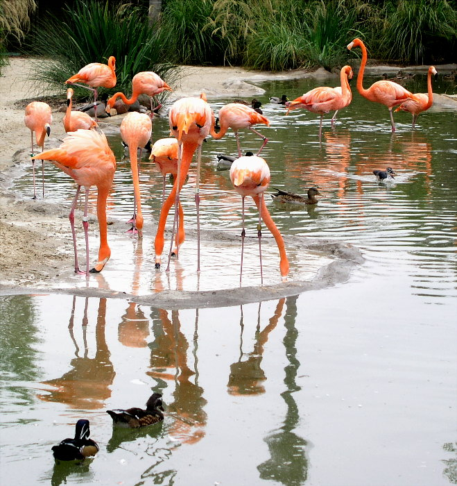 Flamingo Reflections<br>