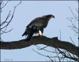 Bald Eagle juvenile 3249.jpg