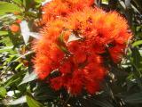 Red gumflowers