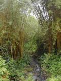Bamboo Trees, Hilo, The Big Island