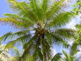Hawaiian Palm