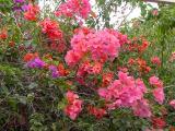 Tropical Flowers, Nani Mau
