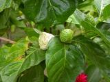 The Tahitian Noni Fruit