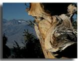 Bristlecone with a Sierra Neveda Backdrop