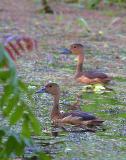 Lesser Whistling-Duck 2.jpg