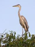 grey heron 2.jpg
