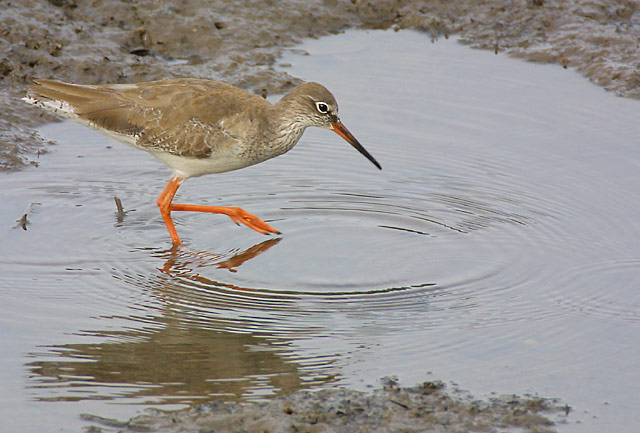 Common Redshank 2.jpg