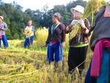 Hmong women threshing rice.jpg