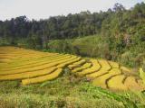 rice paddies - northern thailand2.jpg