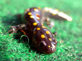 Stages of the Yellow-spotted Salamander