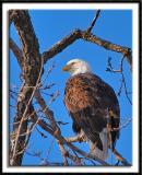 Wabasha Eagle