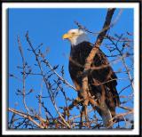 Eagle at Twilight