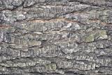 Pear Tree Bark LGPG