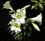 Easter Lily - Lilium longiflorum