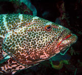 Tiger Grouper, Something Special