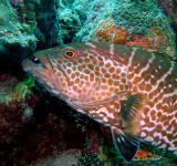 Tiger Grouper, Bari Reef