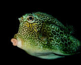 Honeycomb Cowfish