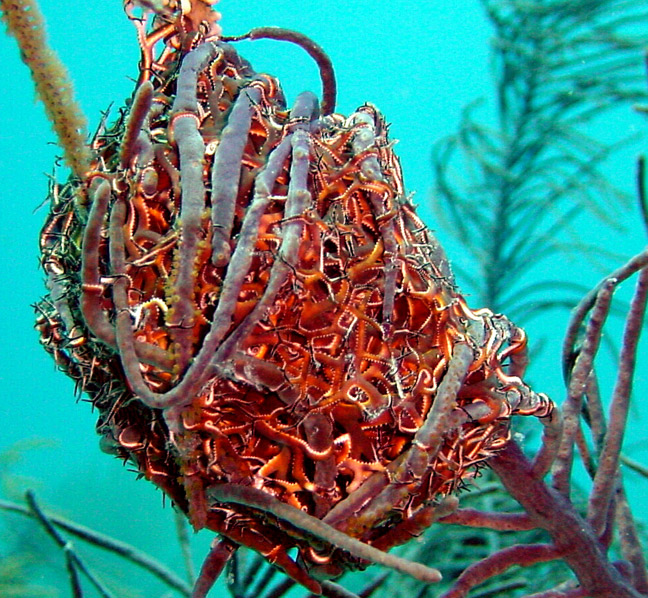 Giant Basket Star, coiled daytime appearance