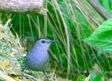 possibly a Catbird & is very friendly