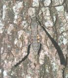 A Carolina Sphinx Moth loves it here