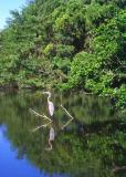 Blue Heron looking for breakfast