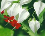 Butterflies Love the Bleeding Hearts