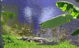 Gator Boy  (bout 12 feet long - 2004) takin in the rays on the south lake bank after a good meal!