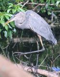 Great Blue Heron doing the one-step