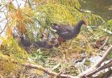 Momma Moorhen & litter of babies hide from the Hawk