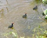 MooreHen Babies hurrying place to place