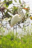 This Great Egret loves eating Snakes in our yard