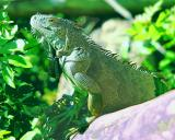 This 'teen aged' Iguans is quite friendly