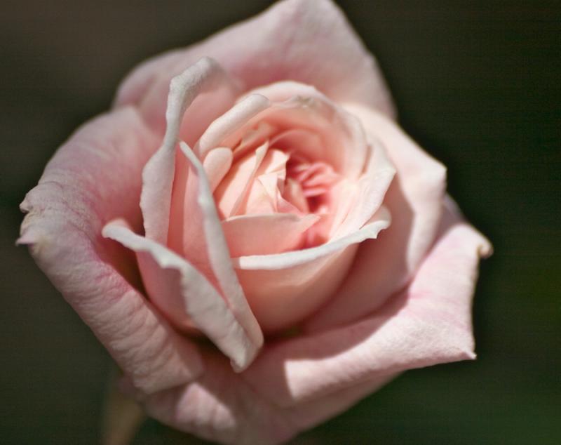 mini rose.jpg