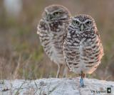burrowing owls at the nest