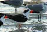 red bill on black skimmers