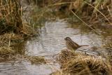 Streamside song sparrow